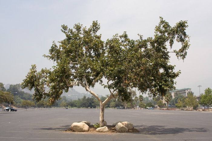 Sick-Amour is an activist and public art project, an art installation, and a movie by Joel Tauber that celebrates a lonely and forlorn Tree in the middle of a giant parking lot in front of the Rose Bowl Stadium in Pasadena